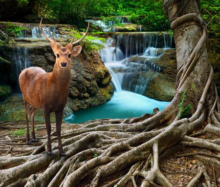 arbol de la vida: ciervos sambar de pie junto a la raíz del árbol bayan frente de agua de piedra de cal cae en el uso del bosque profundo y la pureza de la vida silvestre en tema de la naturaleza