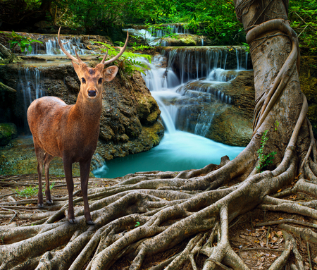water falls: sambar deer standing beside bayan tree root in front of lime stone water falls at deep and purity forest use for wild life in nature theme