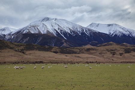 merino sheep: merino sheep  in rural farm new zealand Stock Photo