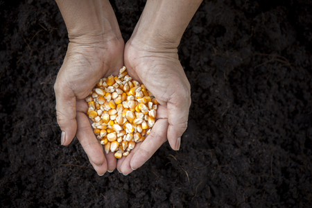 land plant: hand holding corn seed heart shape against soil in plantation agriculture field ,growth concept