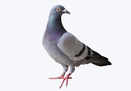 Ganzkörper der Geschwindigkeit Taube fliegen Renn weißen Hintergrund
