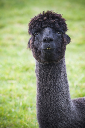 close up funny face of black fur alpacas ,llama in natural field Stock Photo