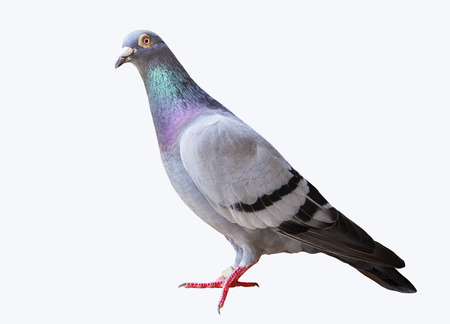 full body of speed flying racing pigeon isolated white background