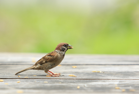 eurasian tree sparrow and paddy in mouth standing on wood table with green blur background Stock Photo