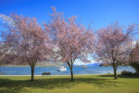 destination scenic: pink flowers blooming in ,beautiful scenic in lake wanaka south island new zealand important traveling destination