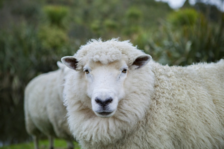 close up merino sheep in new zealand livestock farm Stock Photo