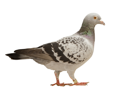 animal body part: close up full body of speed racing pigeon bird isolated white background ,side view Stock Photo