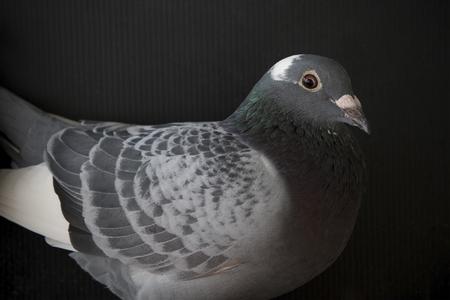 nahes hohes Gesicht der Geschwindigkeit, die Taubenvogel, Kopf schießt, schoss auf Schwarzem Standard-Bild