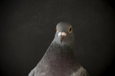 close up view: close up side view beautiful head shot of speed racing pigeon bird on gray background