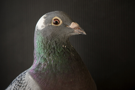 close up side view beautiful head shot of speed racing pigeon bird on gray background