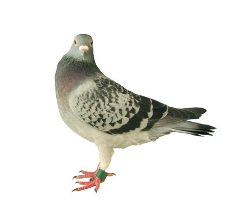 beak pigeon: close up full body of speed racing pigeon bird isolated white background ,side view Stock Photo