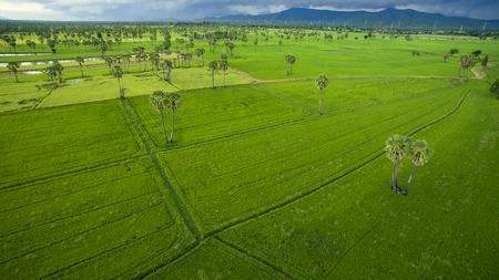 land plant: aerial view of green rice paddy field agriculture area in petchaburi thailand Stock Photo