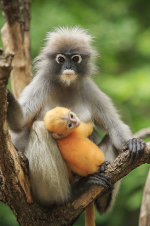 dusky: motherhood of Dusky leaf monkey, Dusky langur in southern of thailand