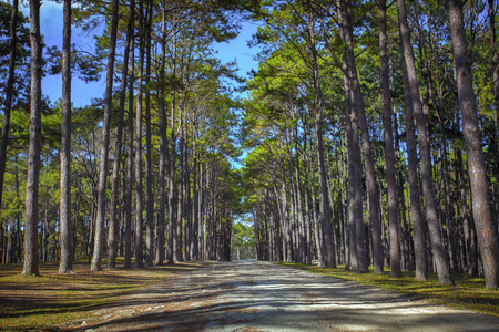 boh: perspective of pine wood in Boh Kaew foresty plantation in chiangmai northern of thailand