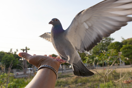 pigeon bird feeding on human hand