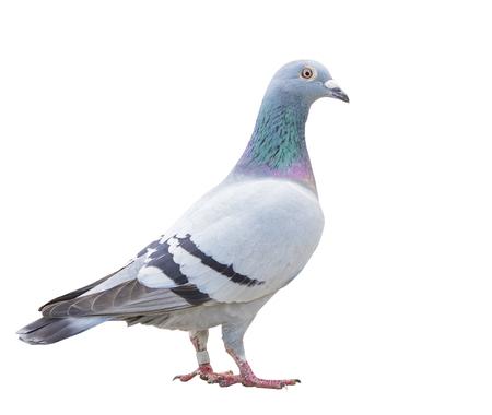 Close up voller Körper der Geschwindigkeit Rennen Taube Vogel isolieren weißen Hintergrund