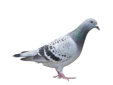 close up full body of speed racing pigeon bird blue check color isolated white background