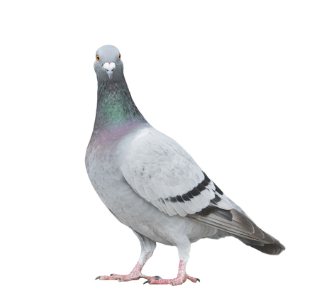 close up full body of speed racing pigeon bird looking to camera isolate white background Stock Photo