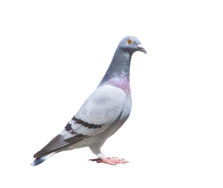 close up full body of speed racing pigeon bird isolated white background Stok Fotoğraf