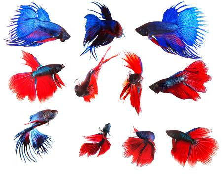 파란색과 빨간색 siamese 싸움 물고기 betta 전신 물에서 격리 된 흰색 배경