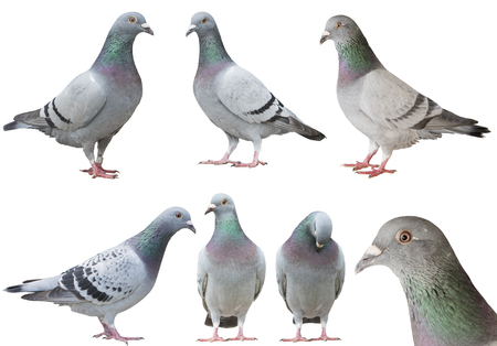 mixed of pigeon bird isolated white background Banco de Imagens