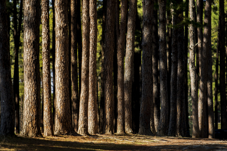 beautiful dramatic light in pine forest with hard light and shadow