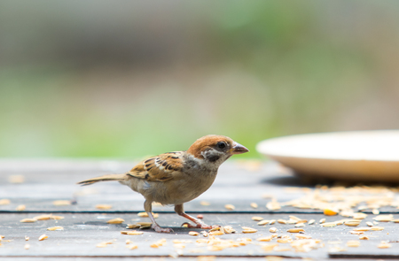 euriasian tree sparrow and paddy on wood table