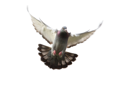 action of homing pigeon bird approaching to landing on ground isolated white Stock Photo