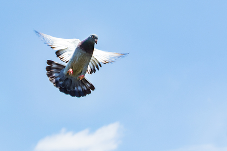 homing speed racing pigeon landing to ground Standard-Bild