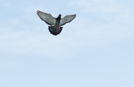 full body of homing pigeon hovering on sky Stok Fotoğraf