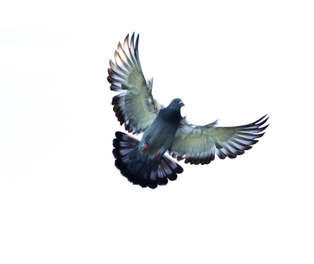 beak pigeon: full body of homing pigeon bird hovering isolated white background