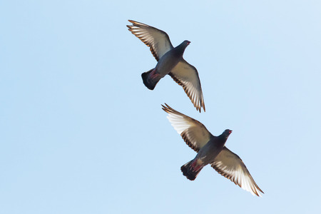 upper wing of homing pigeon bird flying against clear blue sky Stock Photo