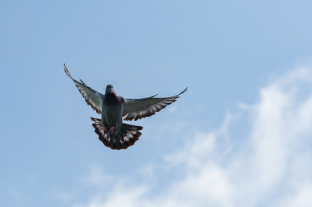pigeon wing flying against blue sky