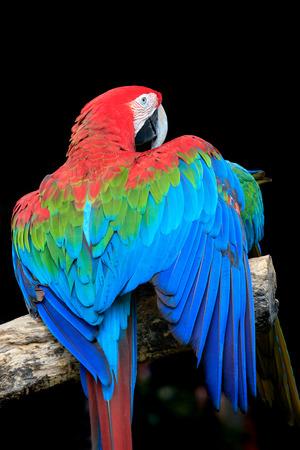 Mooie kleurrijke veer van scarlet ara's vogels perch op droge tak