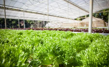 green leaves of hydorponics vegetable in green house 版權商用圖片