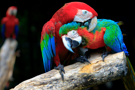 couples of red scarlet macaws birds perching on tree branch Stock Photo