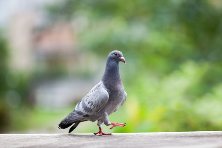 young homing pigeon bird walking on home loft
