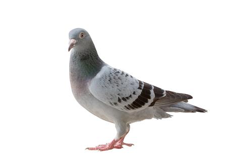 Ganzkörper des Sports Brieftauben Vogel suchen Blickkontakt zur Kamera zu isolieren weißem Hintergrund