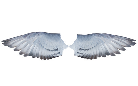 two wing feather of homing  pigeon bird isolated white background Stok Fotoğraf