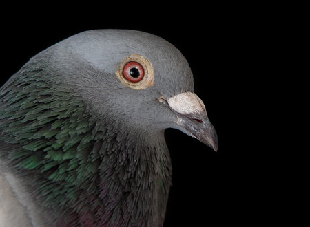 close up face of homing pigeon bird bill on black