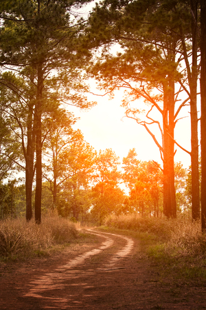 beautiful sun light and country road in pine wood
