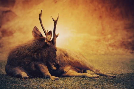 sambar deer lying on wilderness field