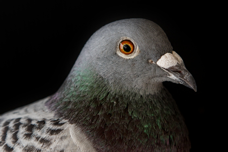 close up head of homing pigeon eye and bill on black background