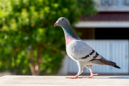 homing pigeon bird perching on home loft Stock Photo