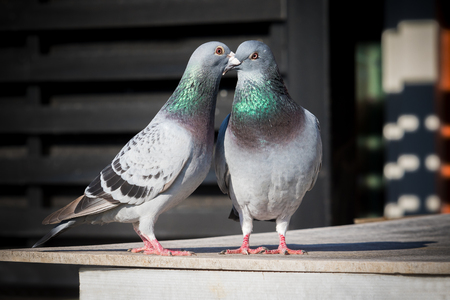 couples of homing pigeon breeding behavior