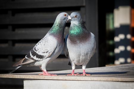 couples of homing pigeon breeding behavior
