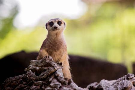 meerkat face on tree stump with blur background