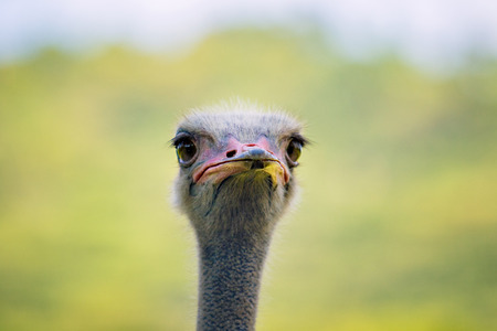 close up head of ostrich against green blur background