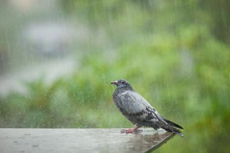 Einsamer Obdachloser Taubenvogel, der im harten Regnen steht Standard-Bild - 87234926