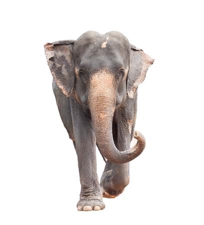 het volledige lichaamsgezicht van Aziatische olifant isoleerde witte achtergrond